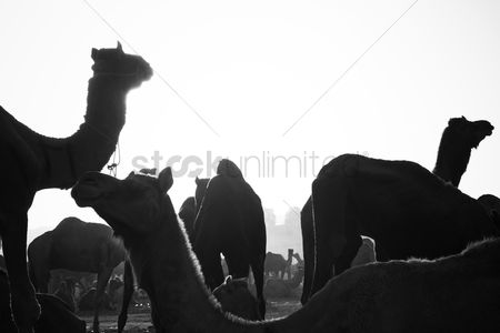 Large group of animals : Camels at pushkar camel fair  pushkar  ajmer  rajasthan  india