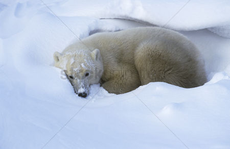 No people : Canada churchill polar bear lying in snow