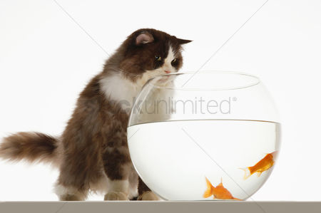 Bowl : Cat looking at two goldfish in fishbowl front view