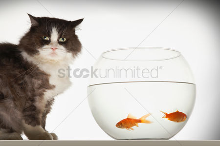 Bowl : Cat sitting by fishbowl containing two goldfish