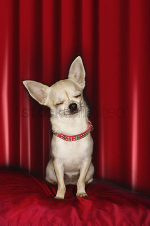 Dogs : Chihuahua eyes closed sitting on red pillow