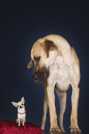 Dogs : Chihuahua sitting on red pillow great dane standing alongside front view