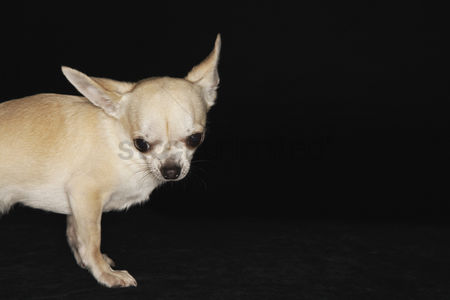 Dogs : Chihuahua standing looking down