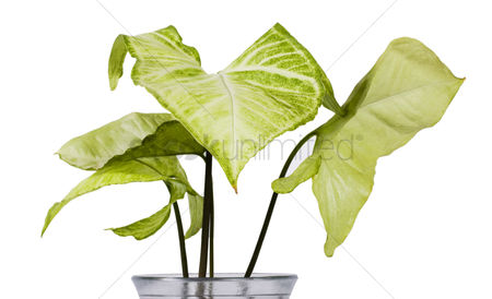 Houseplant : Close-up of a plant from philodendron family