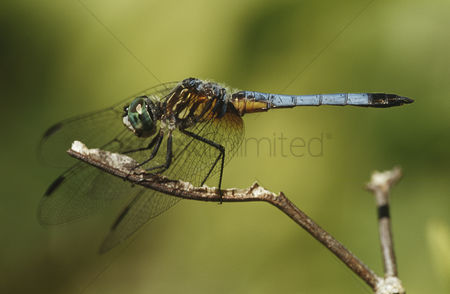 Animals in the wild : Close up of dragonfly on a twig