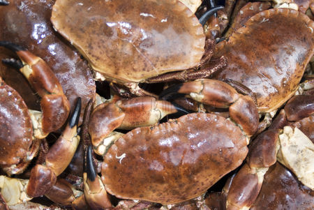 Large group of animals : Close-up of fresh dungeness crabs