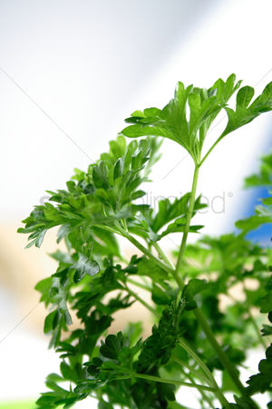 Refreshment : Close up of fresh parsley