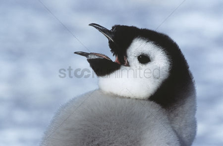 Animals in the wild : Close-up of juvenile emperor penguin with open beak