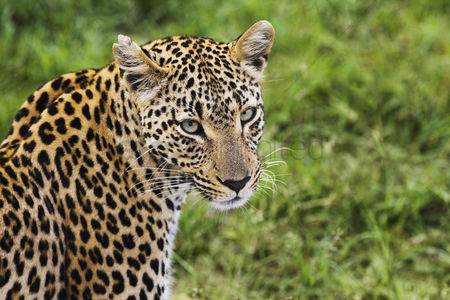 Animals in the wild : Close-up of leopard  panthera pardus  looking at camera