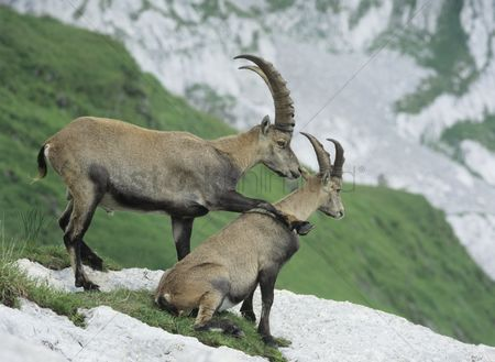 Natural : Couple of alpine ibexes