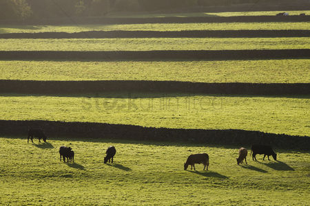 Land : Cows on pasture in yorkshire dales yorkshire england