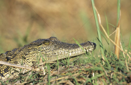 African wildlife : Crocodile in grass
