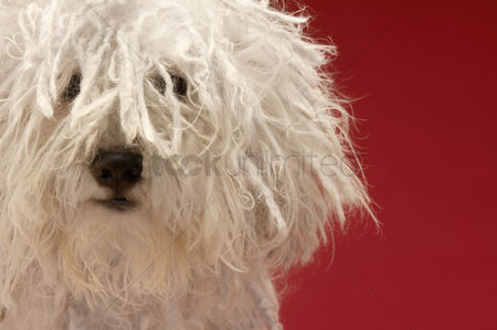 Background : Cute komondor dog close-up