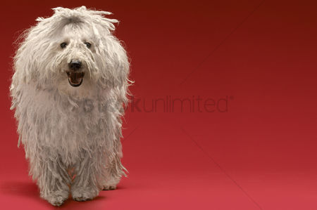 Adorable : Cute komondor dog on red background