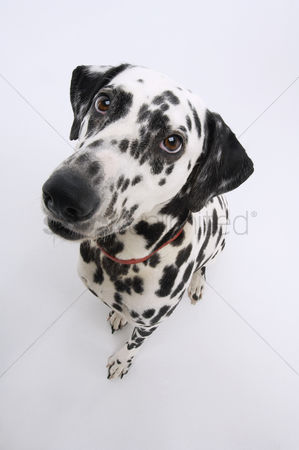 Dogs : Dalmatian elevated view