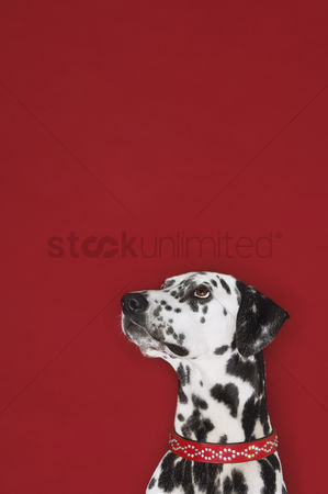 Dogs : Dalmatian sitting looking up head and shoulders