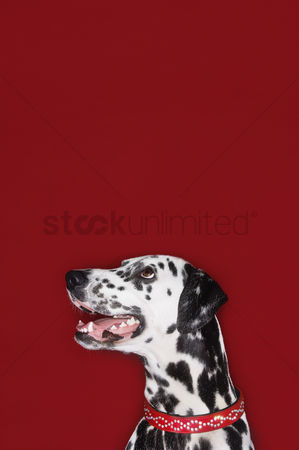 Dogs : Dalmatian sitting looking up mouth open head and shoulders