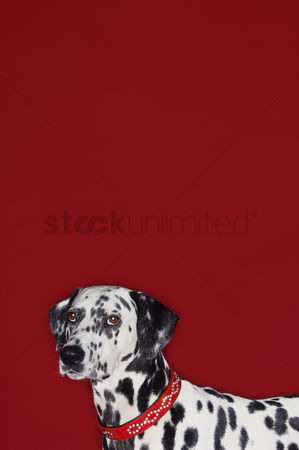 Dogs : Dalmatian standing head and shoulders