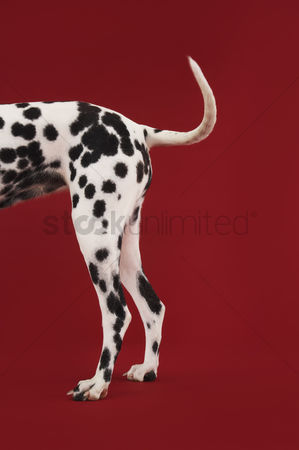 Dogs : Dalmatian standing tail and hind legs side view