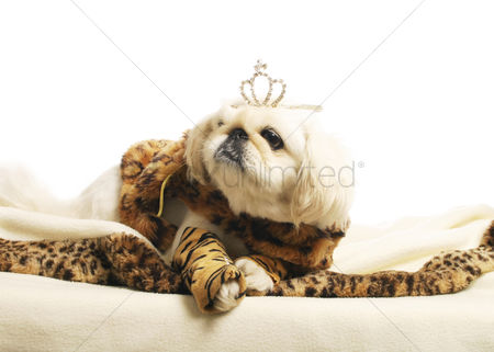 Resting : Dog with a crown