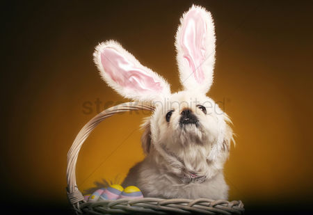 Resting : Dog with bunny ears sitting inside a basket of easter eggs