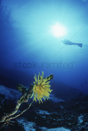 Diving : Feather star with silhouette of diver in background