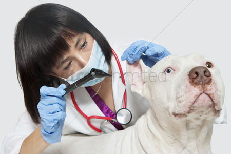 Examination : Female veterinarian checking ear s of dog against gray background