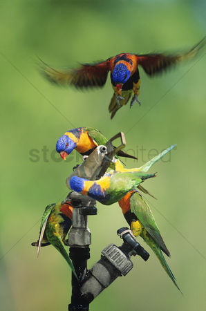Animals in the wild : Five rainbow lorrikeets playing with garden hose