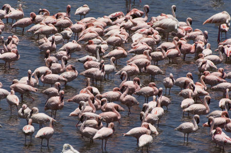 Large group of animals : Flock of flamingos  genus  phoenicopterus  in water elevated view