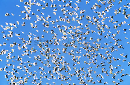 Large group of animals : Flock of migrating birds