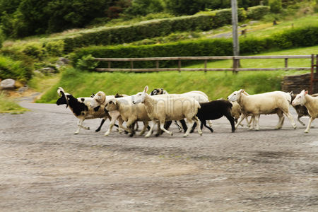 Large group of animals : Flock of sheep on road  ring of kerry  county kerry  republic of ireland