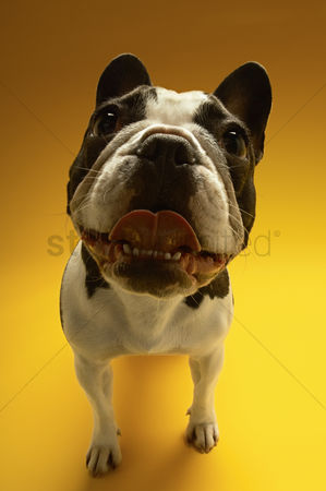 Adorable : French bulldog on yellow background