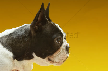 Domesticated animal : French bulldog