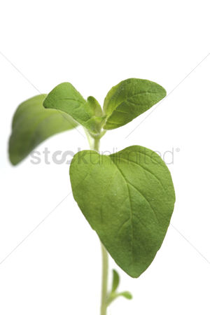 Collection : Fresh oregano on white background