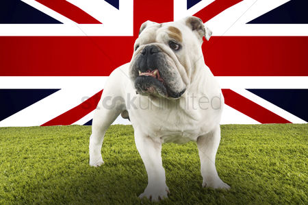 Domesticated animal : Full-length of british bulldog standing in front of union jack