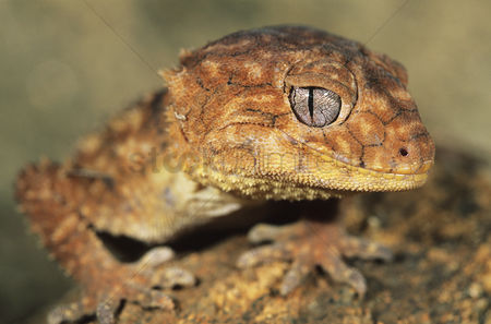 Animals in the wild : Gecko close-up