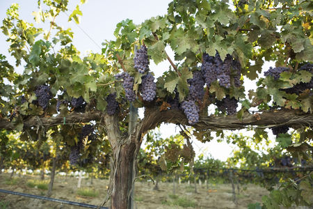 Fruit : Grapevines with bunches of grapes