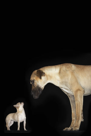 Dogs : Great dane and chihuahua standing looking at each other