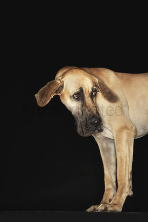 Dogs : Great dane standing head turned ears extended