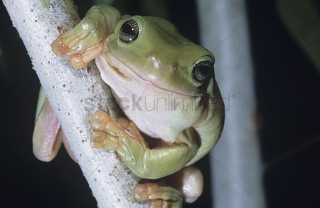 Animals in the wild : Green tree frog on branch close-up