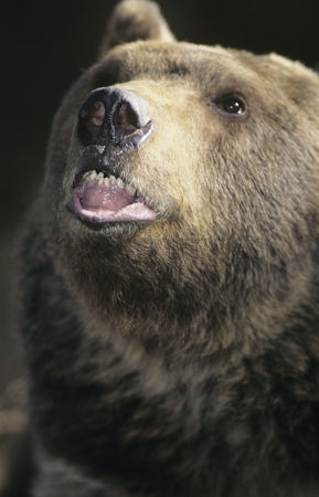 Animal head : Grizzly bear roaring close-up