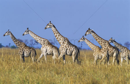 Grass : Group of maasai giraffes  giraffa camelopardalus  on savannah