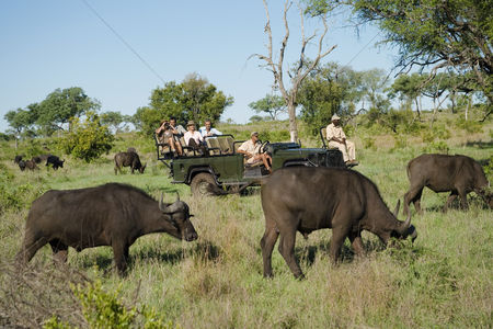 African wildlife : Herd of african buffaloes  syncerus caffer  tourists in jeep in background