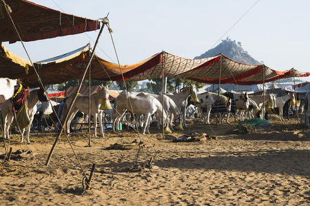 Large group of animals : Horses at pushkar camel fair  pushkar  ajmer  rajasthan  india