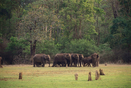 Large group of animals : Indian elephants  elephas maximus indicus  standing in a forest  bandipur national park  chamarajanagar  karnataka  india