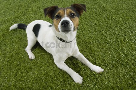Dogs : Jack russell terrier lying prone elevated view
