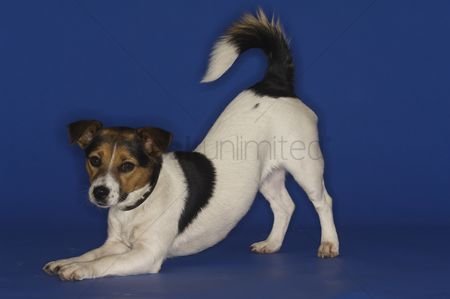 Adorable : Jack russell terrier