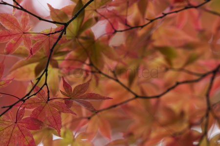 Trees : Japan nikko rinnoji temple maple tree in fall colors close-up