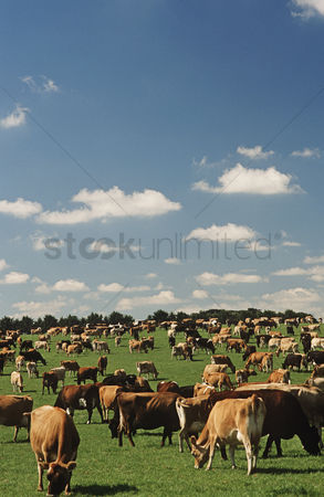 Large group of animals : Jersey dairy cows in green pasture