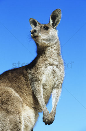Alert : Kangaroo against blue sky